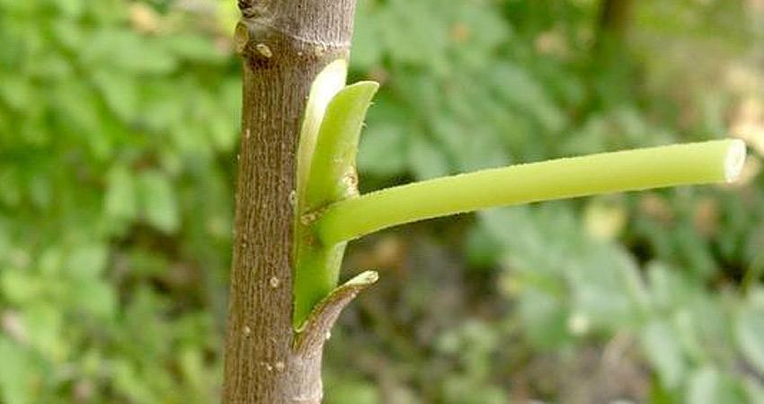 agrotaoro-injertos-plantas-agricultura-aguacateros-profesional-tenerife-orotava-realejos
